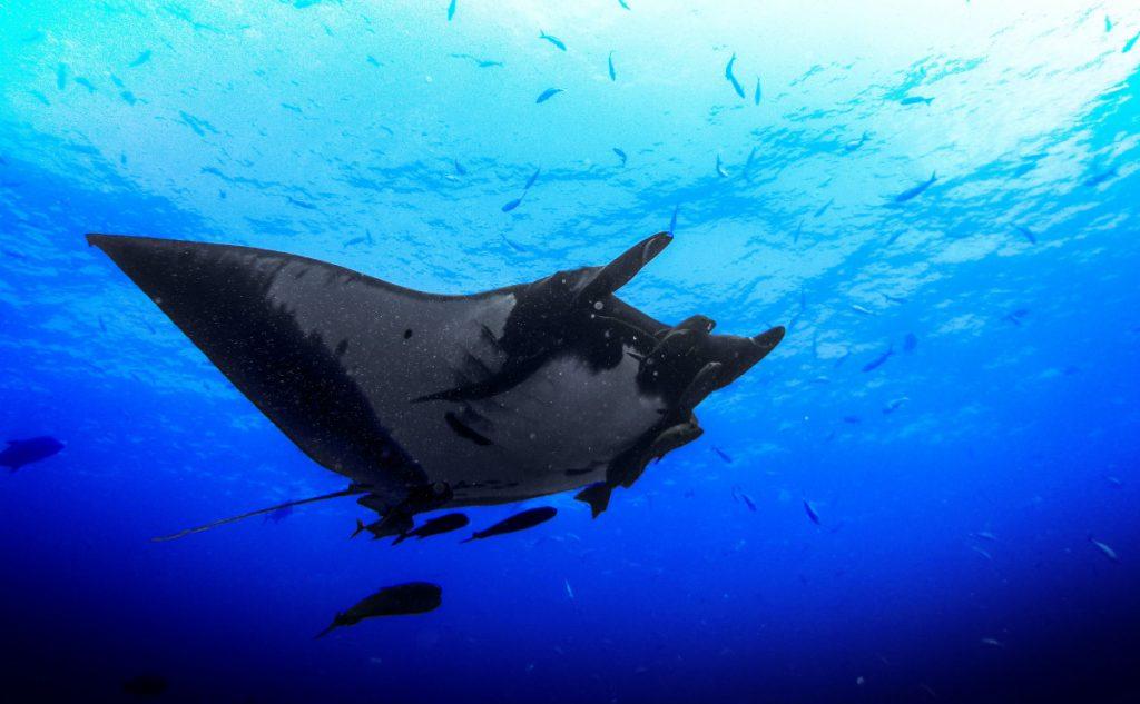 manta ray - Manta Point Komodo Snorkeling